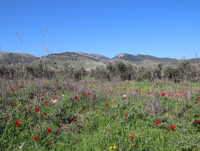Galil Hills With poppies