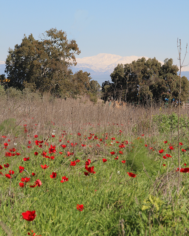 Galil Poppies And Mt. Hermon