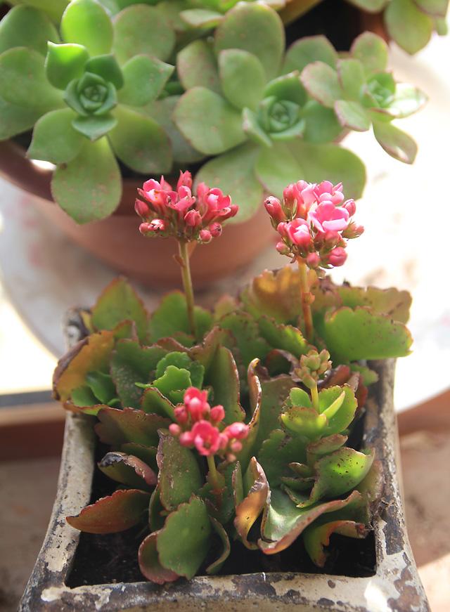 Kalanchoe Cuttings In Bloom