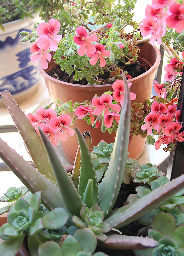 Container gardening Geraniums and succulents