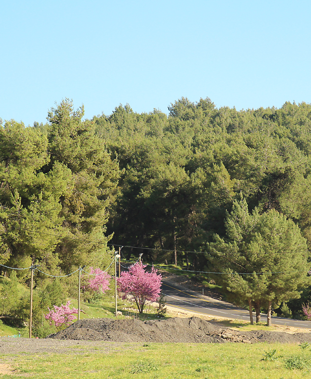 Klil HaHoresh, Judah's tree wild