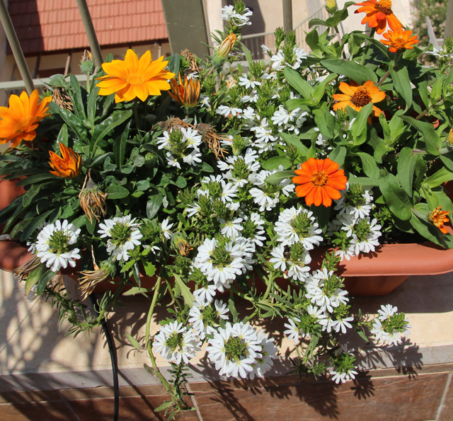 Container garden african daisies