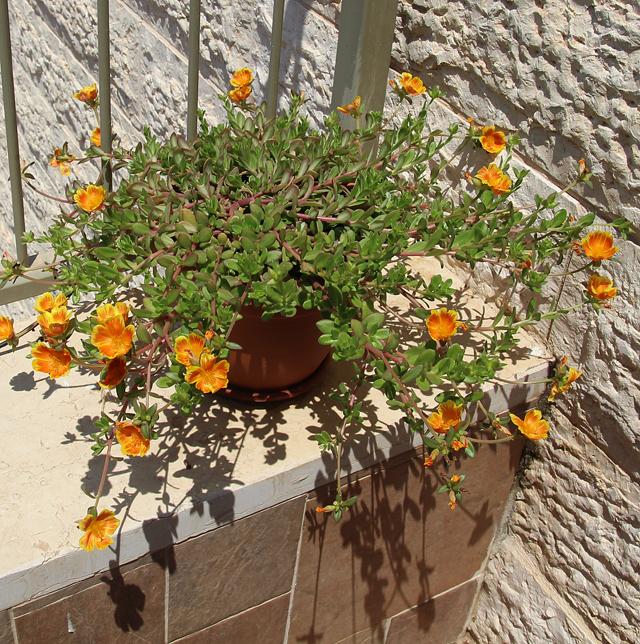 Container gardening portulaca