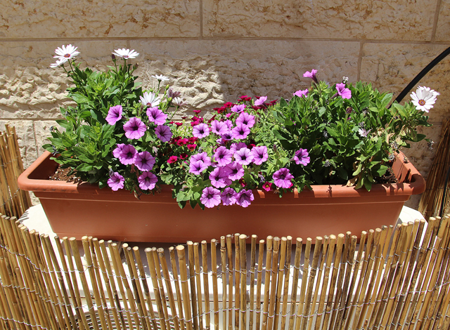 Container Gardening Daisies