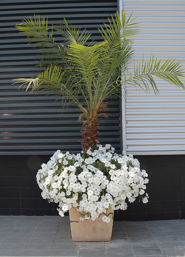 Container Gardening Palm With White Petunias