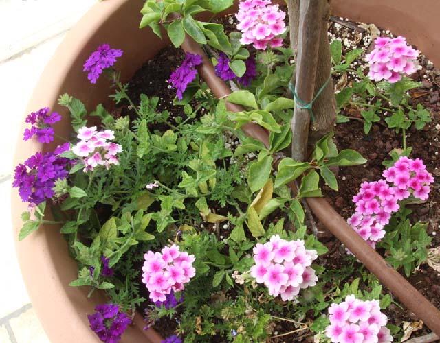 Container Gardening verbena