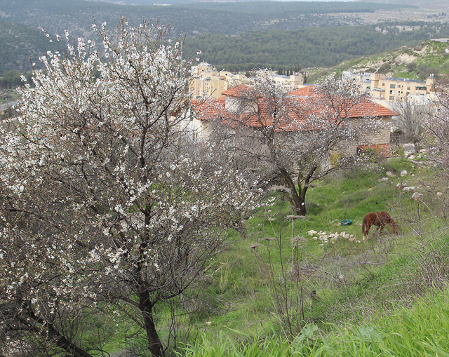 Almond trees in bloom in Israel with horse