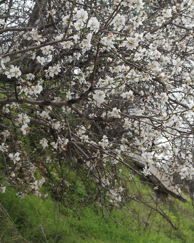 Almond Trees In Bloom In Israel