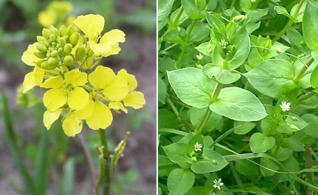 Foraging;Wild Mustard and Chickweed