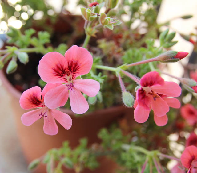 Container gardening Geraniums closeup