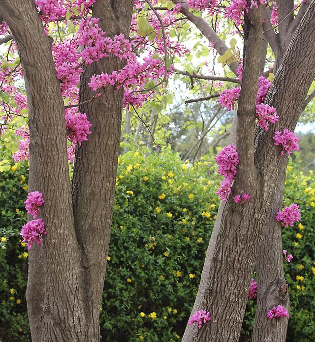 Klil ha horesh,judah tree,redbush blooms on trunk
