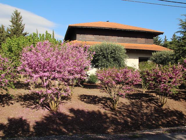 Klil HaHoresh,redbush,judah's tree housein Mitzpe Amouka
