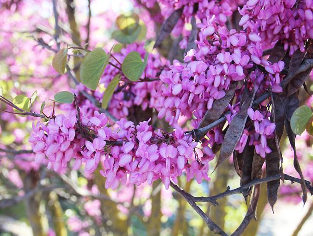 Klil HaHoresh,redbush,judah tree closeup