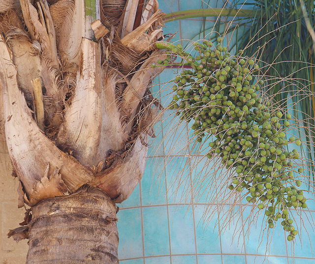 Dates on a Date Palm