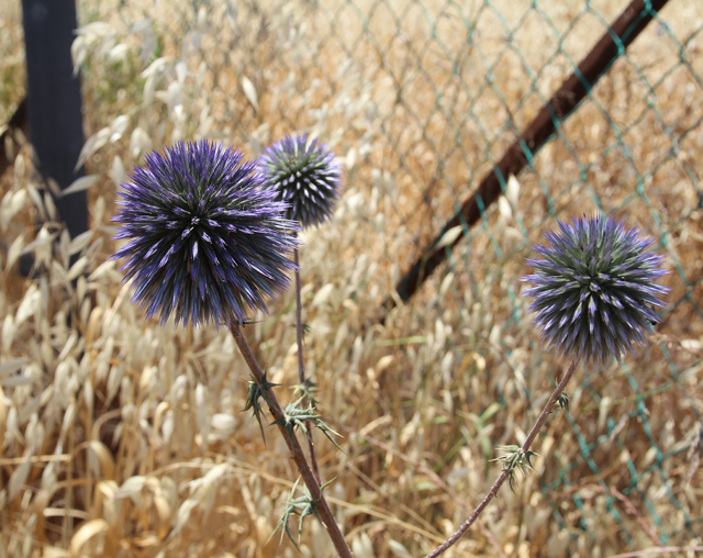 Purple Thistle Balls up close