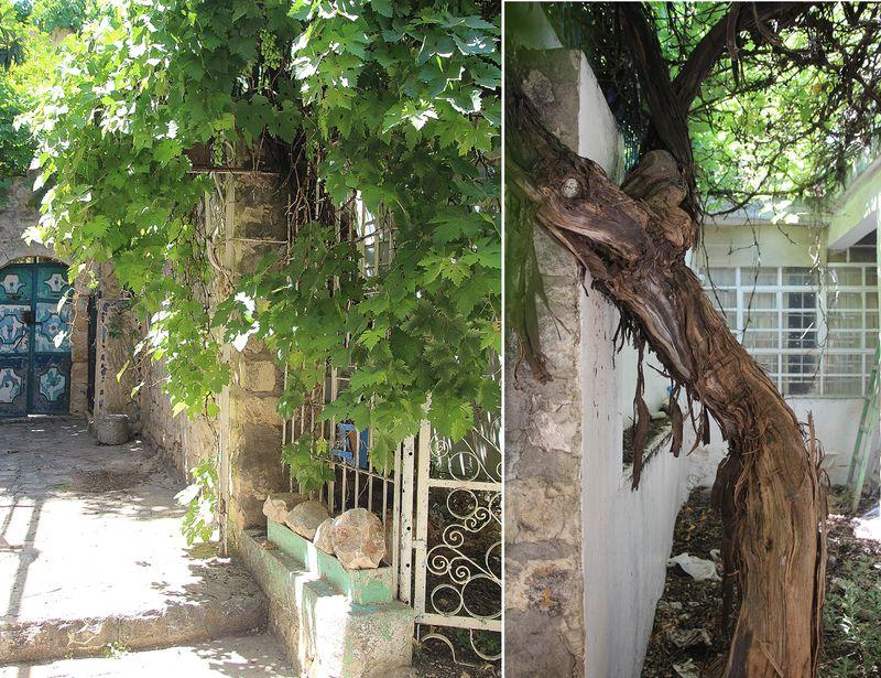 Grape Vine in Israel Village