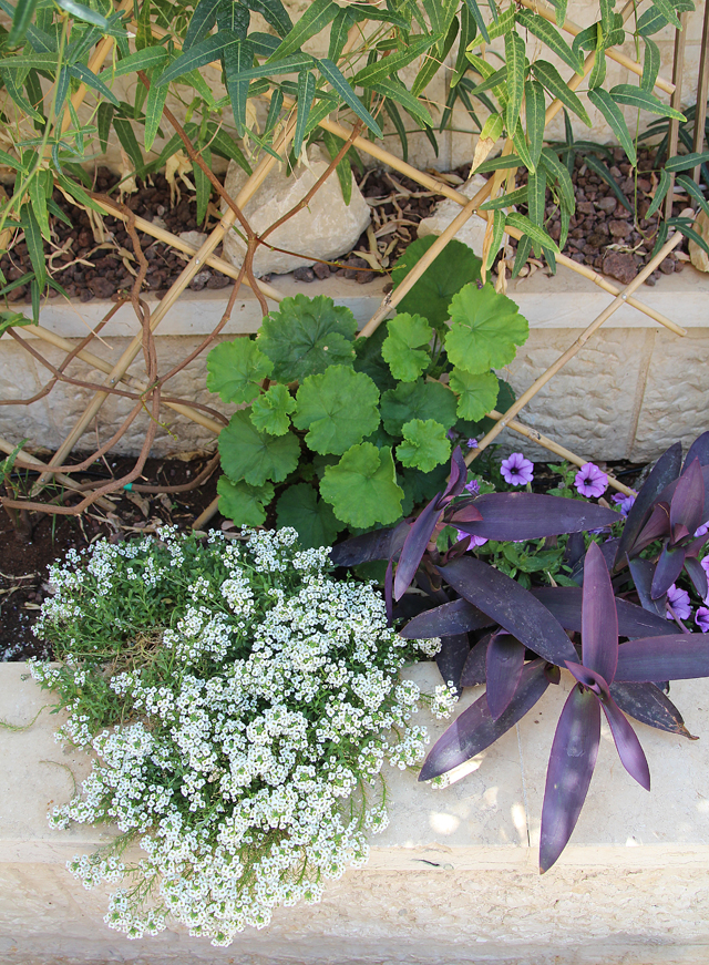 Container gardening purple heart and alyssium