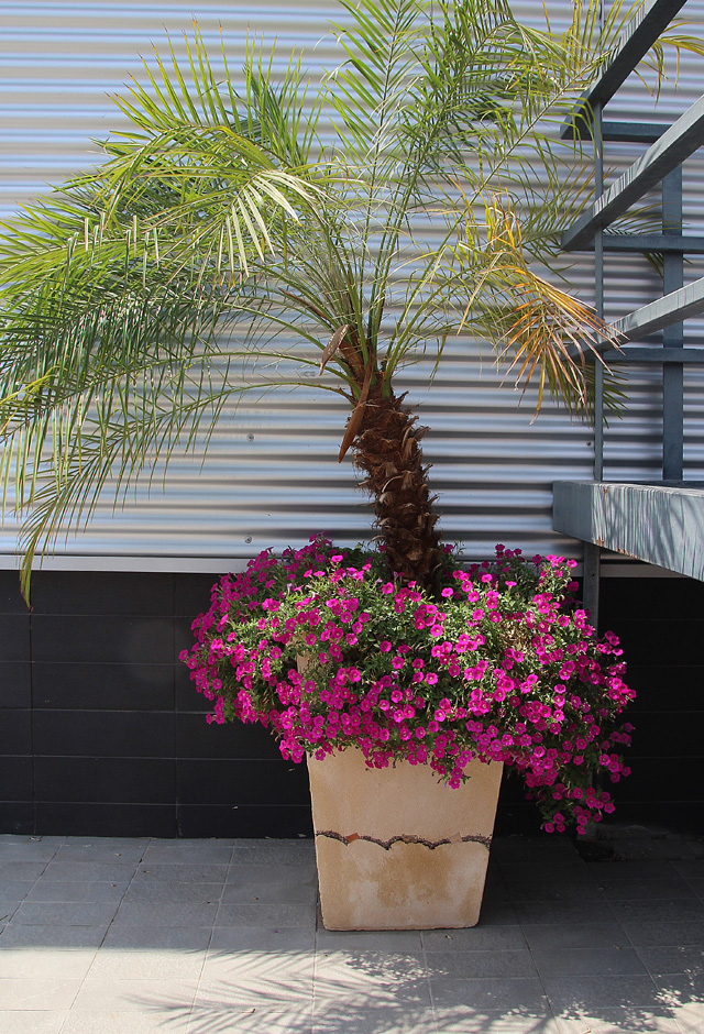Container gardeneing Palm with petunias