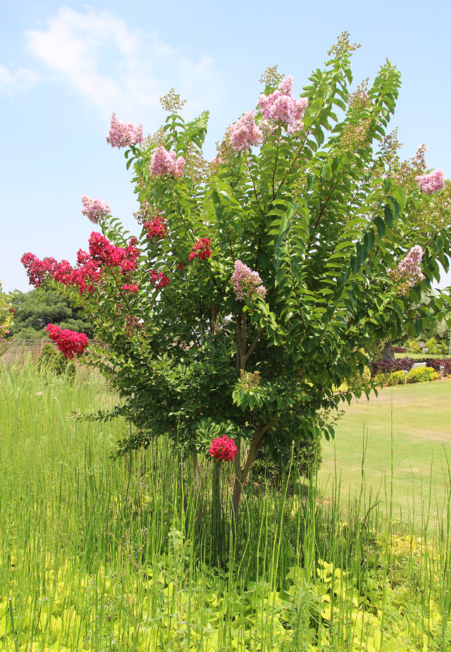 Garden Emek Hefer Flowering Tree