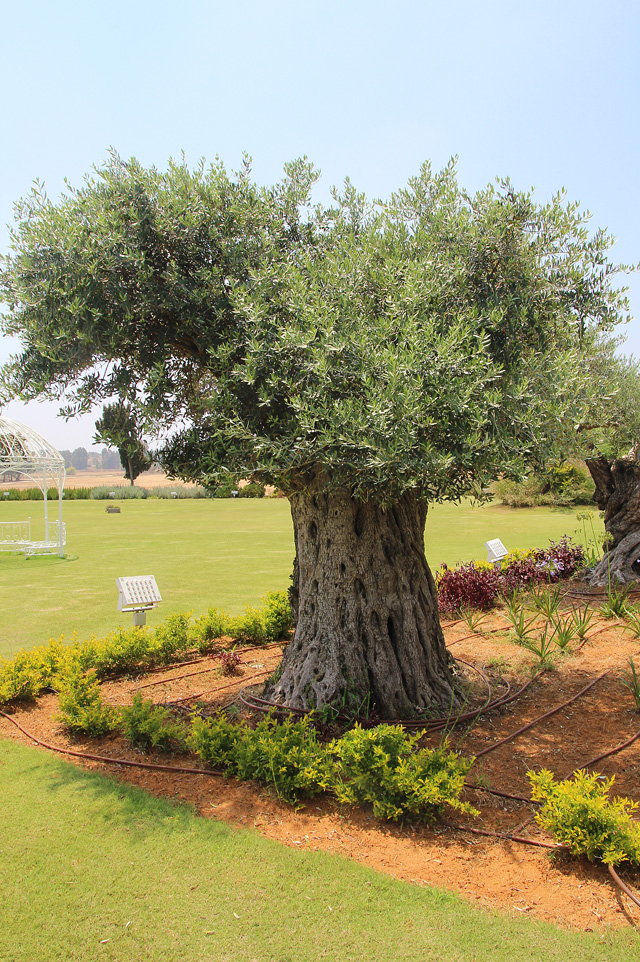 Garden Emek hefer olive tree