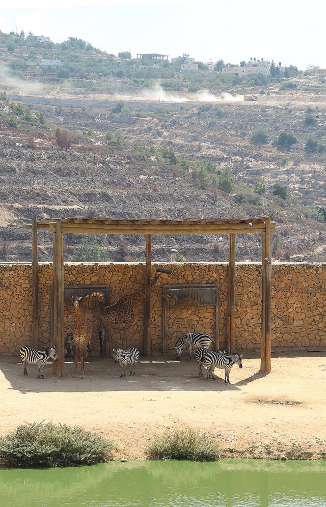 Jerusalem Zoo zebras