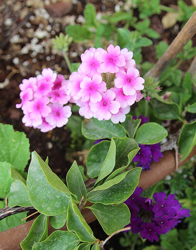Container gardening Verbena Close up