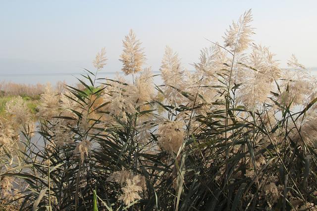 Kinneret Sea Grass Galillea