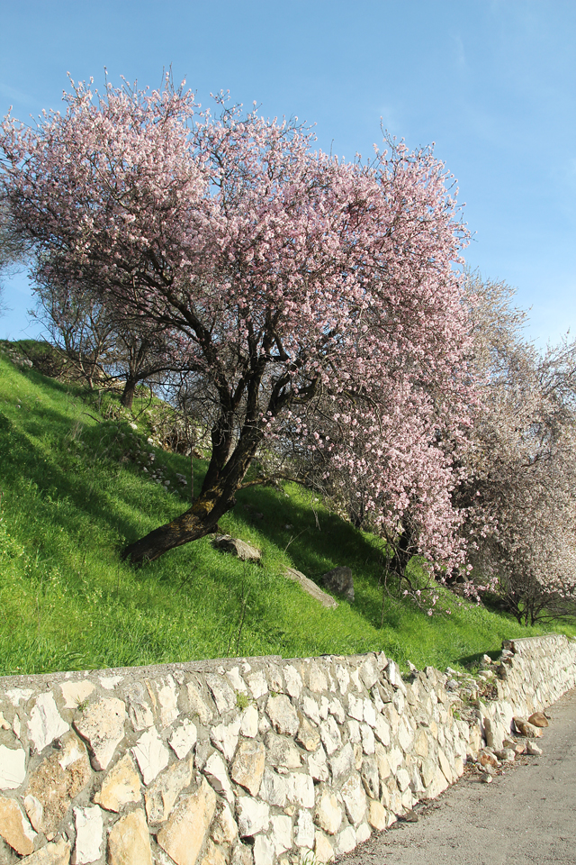 Almond Tree Pink in bloom with stone wall