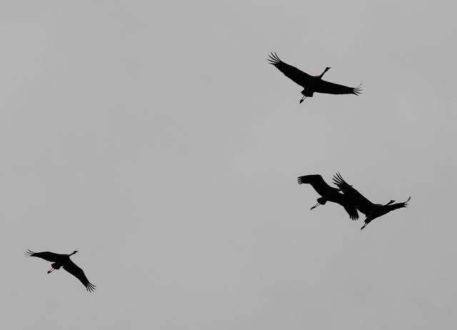 Hula Valley Cranes in Sky
