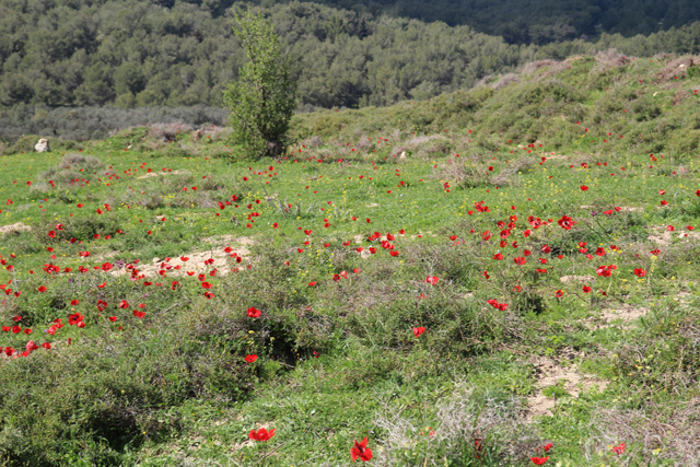 A Walk In The Israeli Meadow, red poppies
