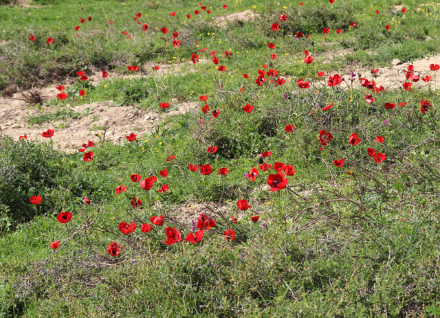 A Walk In the israeli meadow, red poppies close up