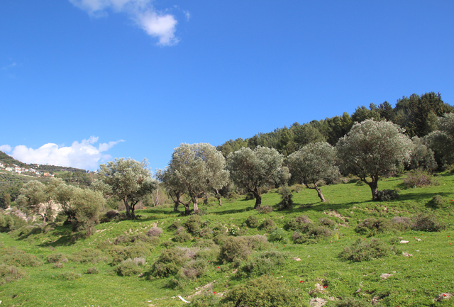 Walk in the israeli meadow, olive tree grove