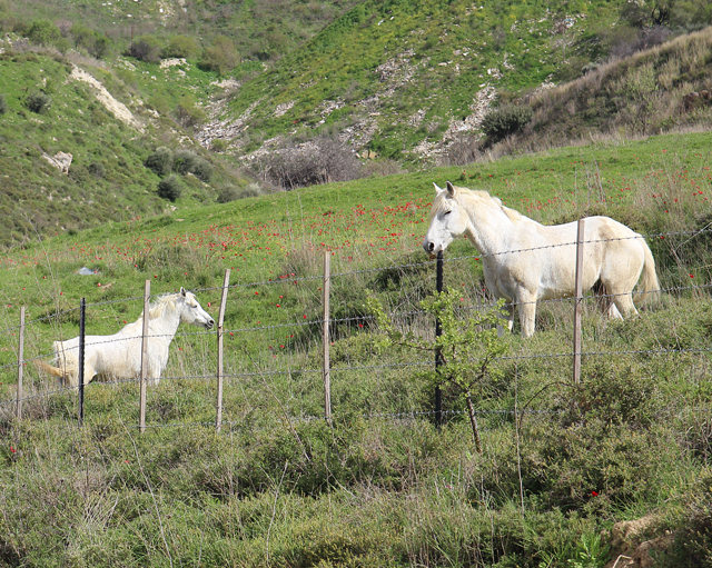Walk Through the Israeli meadow wild horses