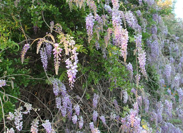 Mount Tabor kefar tavor wisteria