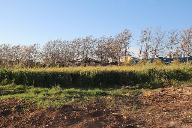 Kefar Tabor,devorat hatabor trees
