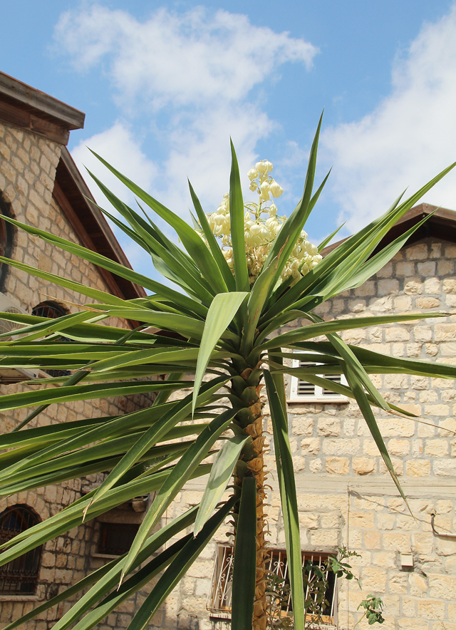 Container Gardening- Yucca In Bloom
