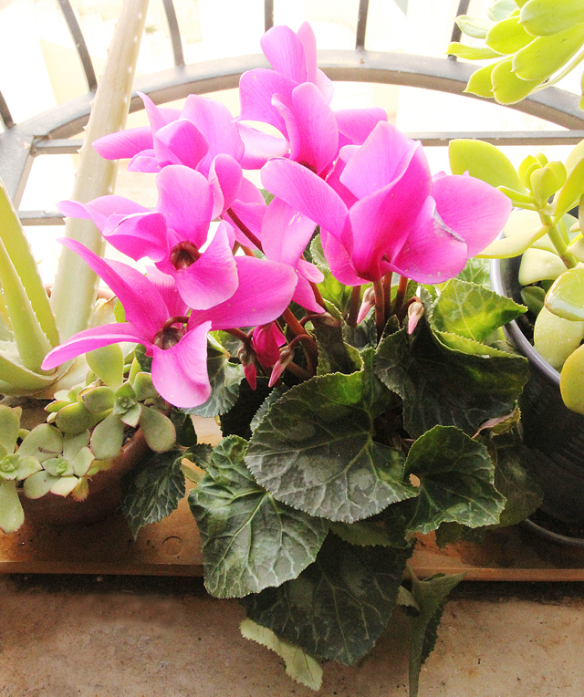 Winter Window Garden with cyclamen