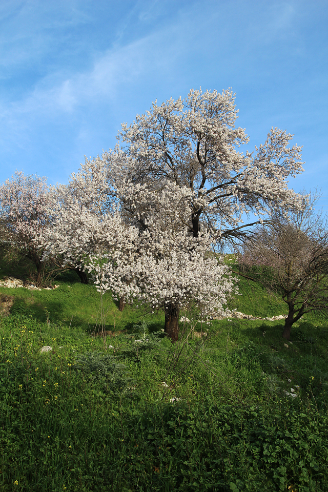 Almond tree, old with white blooms