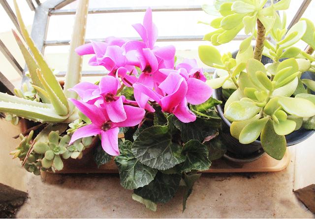 Winter Window garden with succulents