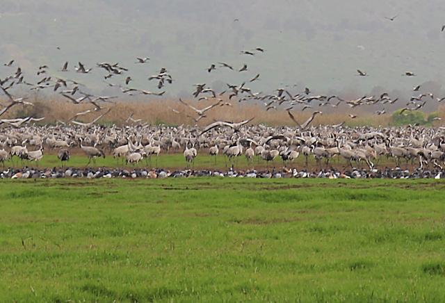 Hula Valley Cranes close up 2