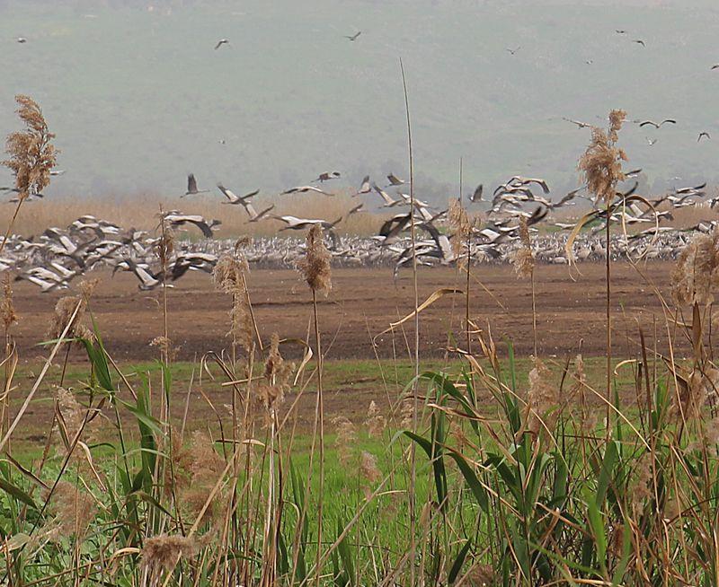 Hula Valley Cranes Close up