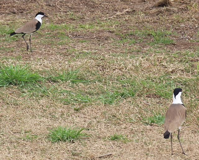 Hula Valley birds in the field