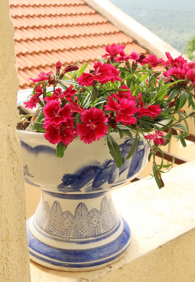Container Gardening- Dianthus