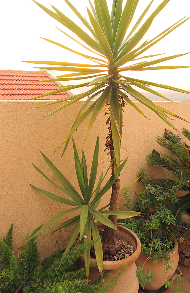 Container Garden 2013 Yucca