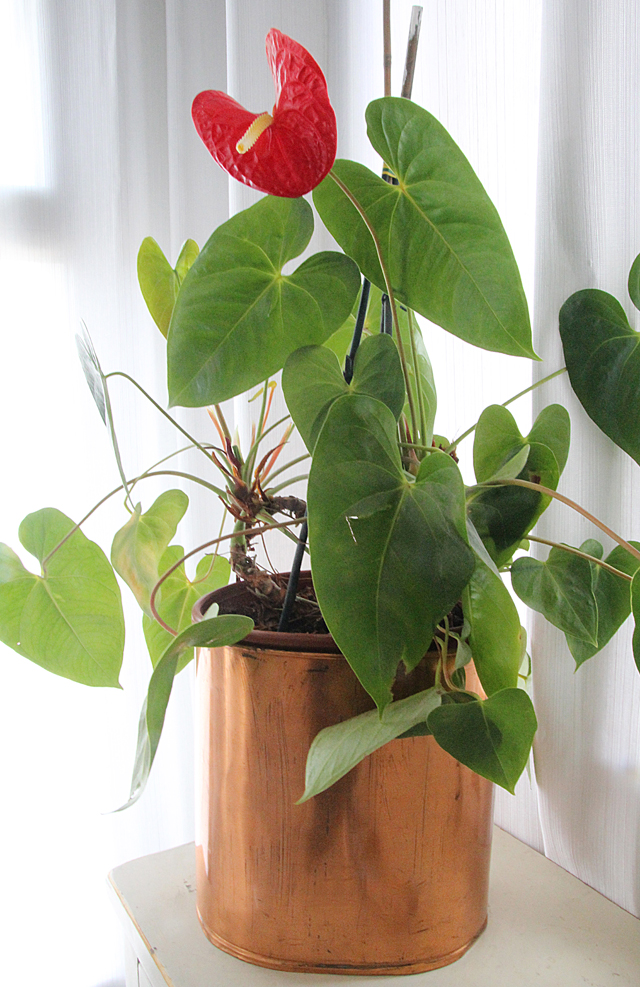Flowering houseplant anthurium