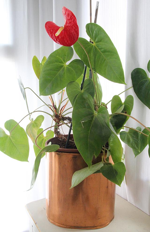 Flowering houseplant anthurium