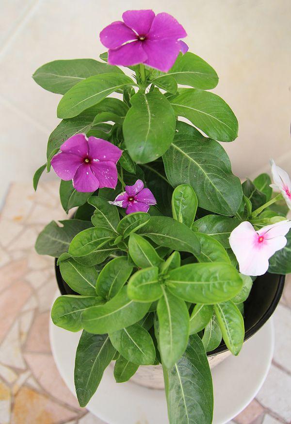 Container Gardening Vinca In Bloom Creative Jewish Mom