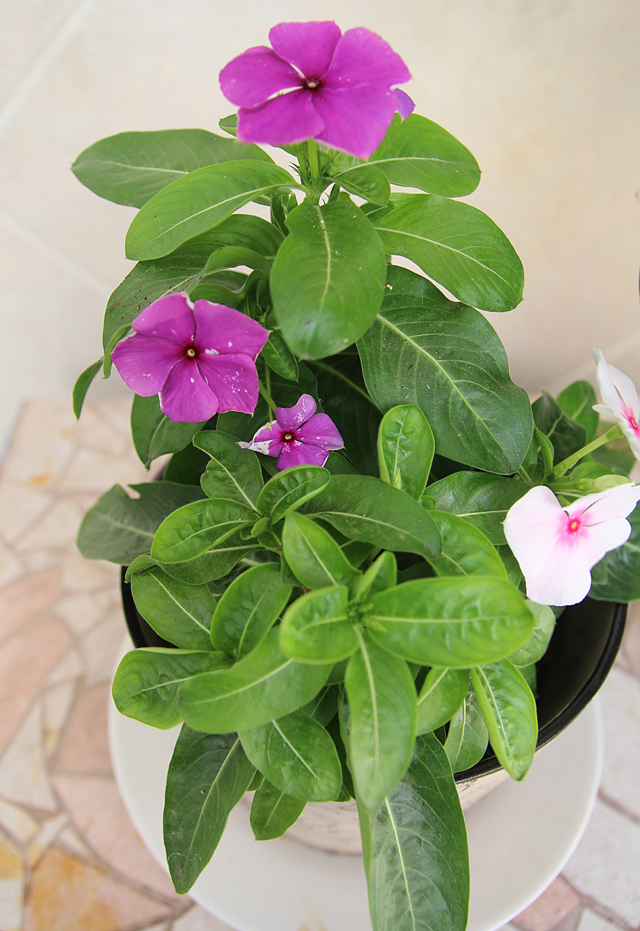 Container Gardening Vinca In Bloom