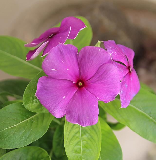 Summer blooms- vinca