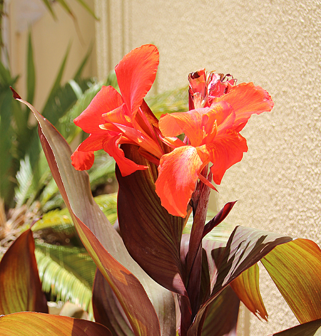 Summer blooms - red canna